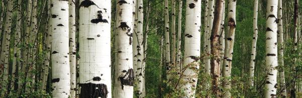 Glasnische-Motiv-Birch-Forrest-ohne-Logo